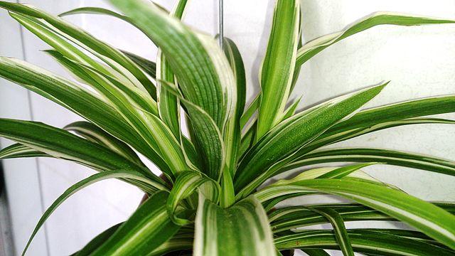 zelenec chocholavý