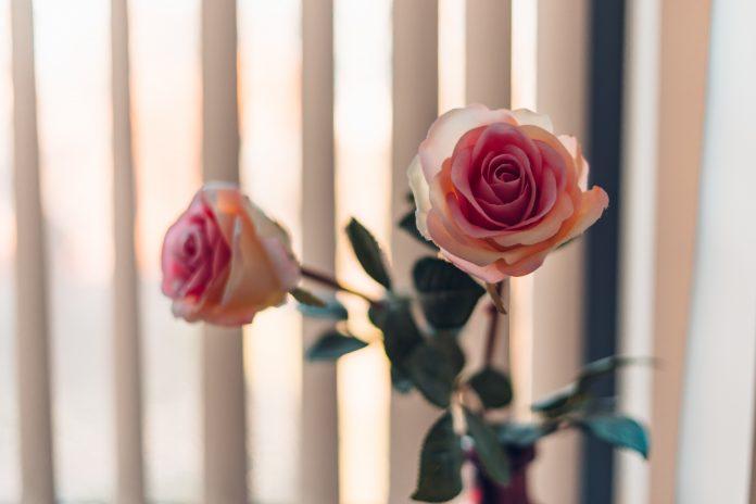 dve ruže pred žalúziami