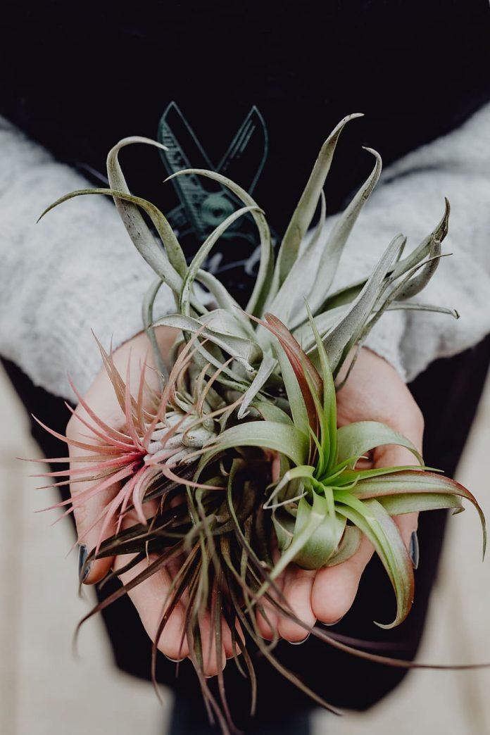 krásne rozkvitnuté vzdušné rastliny