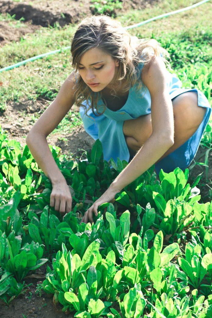aplikovanie roztoku na listy rastlín proti škodcom