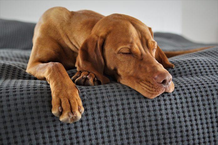 Domáci pes spiaci na vankúši sivej farby v spálni zariadenej podľa feng shui učenia