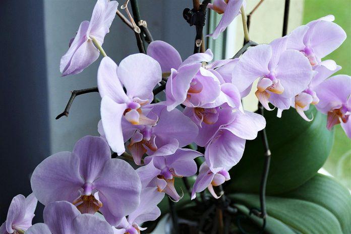 orchidea plná kvetov fialovej farby