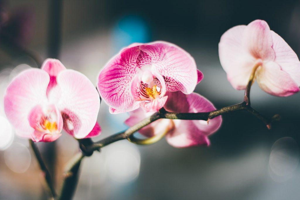 detail na rozkvitnuté puky a kvety mladej rastliny orchidei