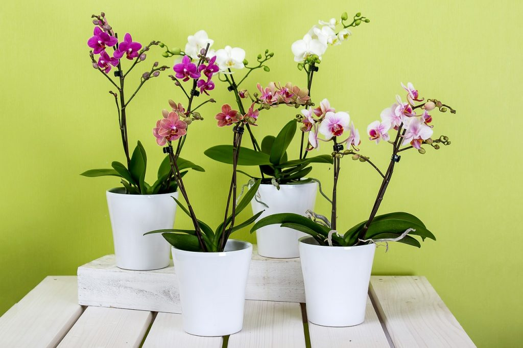 rozkvitnuté kvety orchideí v plastových bielych črepníkoch