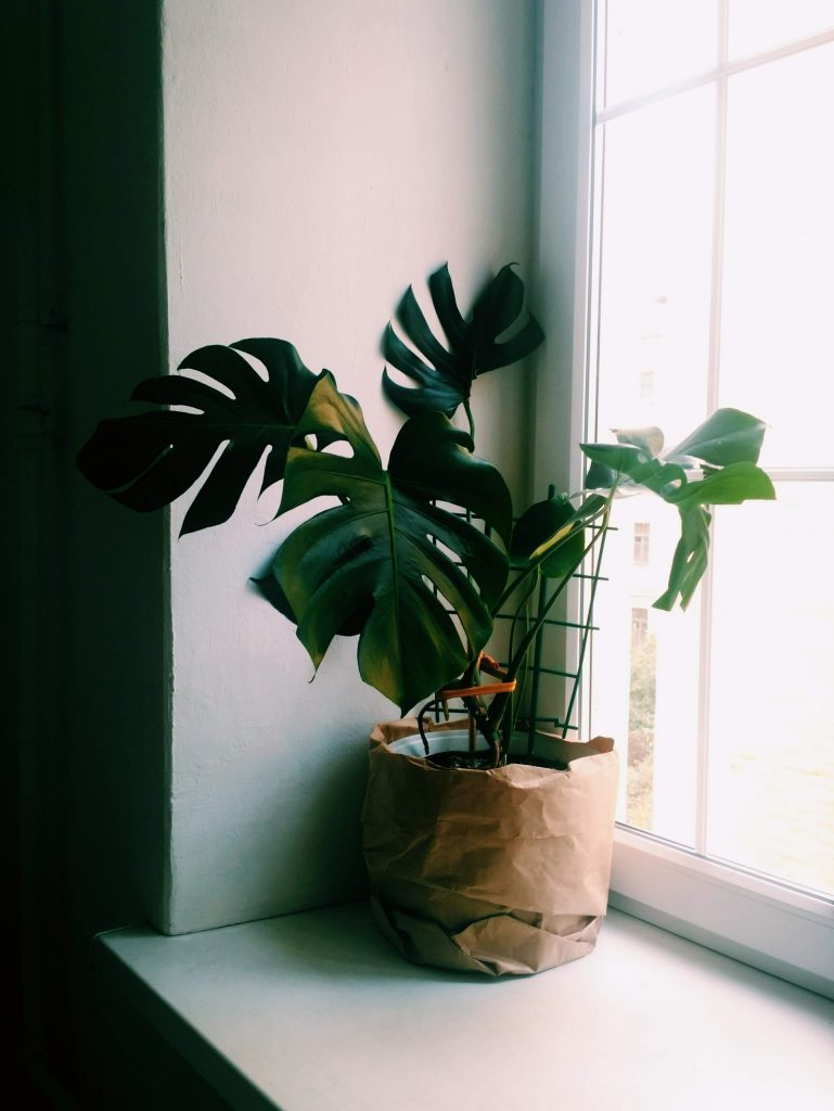 krásna zelená rastlina kvitnúca listom monstera pri plastovom okne