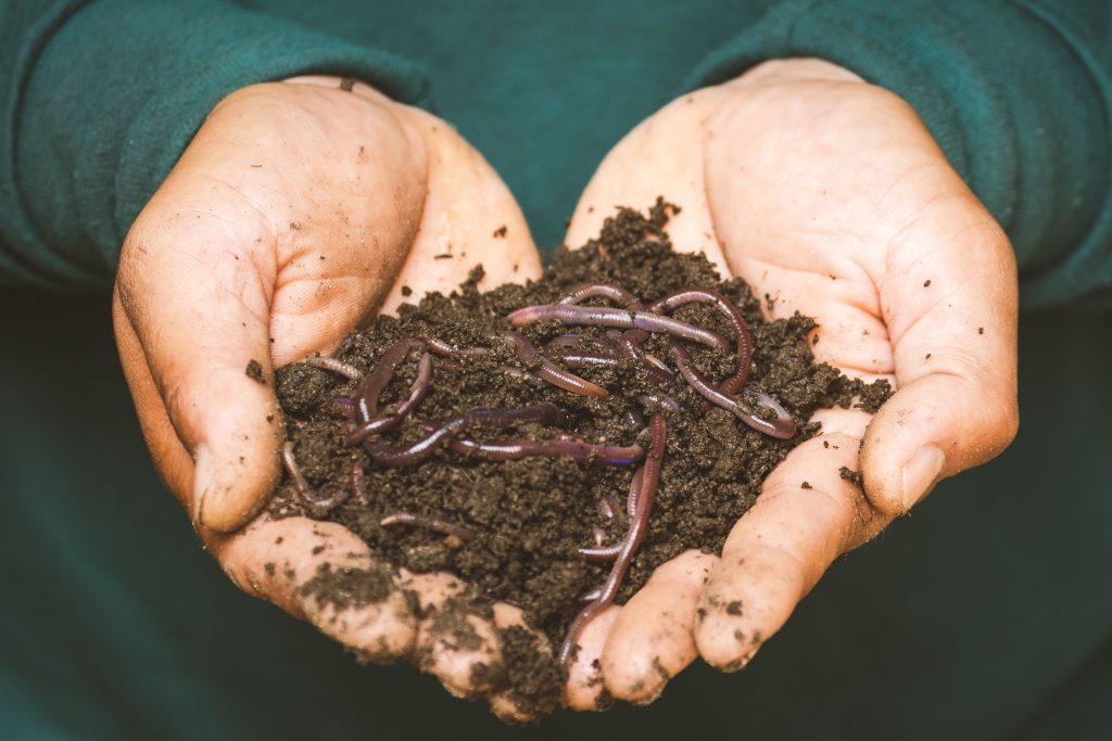 dážďoky používajúce sa na vermikompostovanie