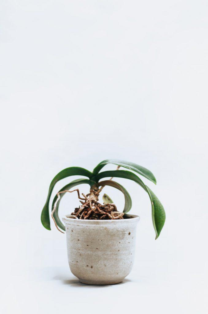 odkvitnutá orchidea bez stoniek a kvetov