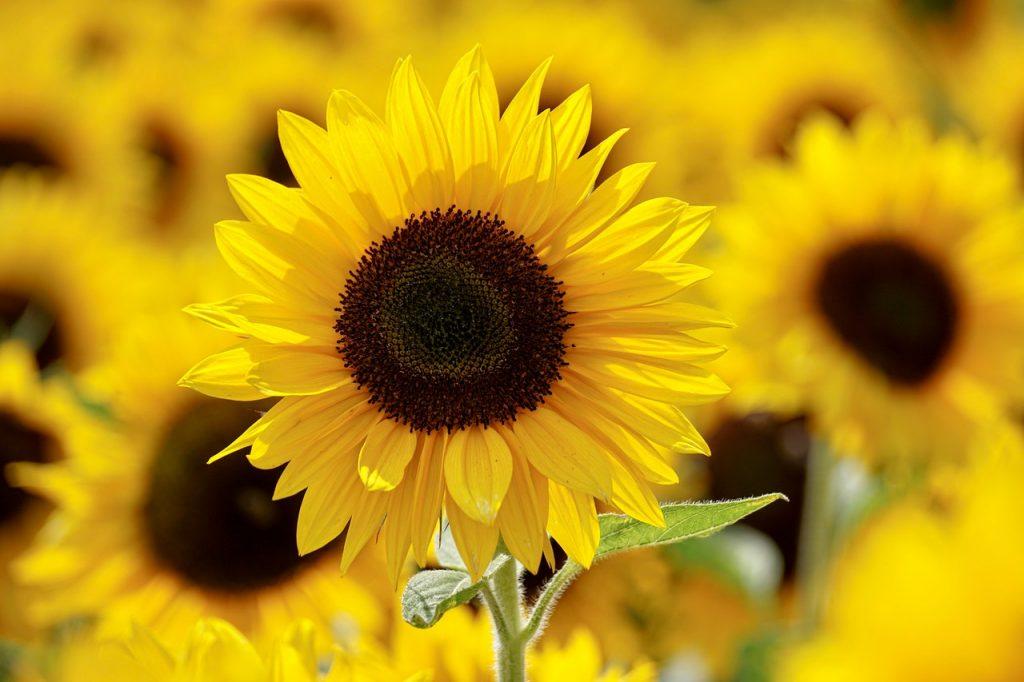 krásna žltá slnečnica na lúke inšpirácia pre interiérový dizajn