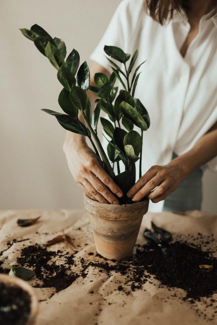 mladá žena presádza svoju rastlinu