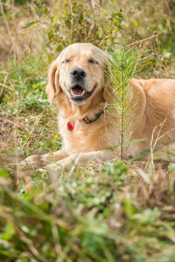 zlatý retriever v tráve