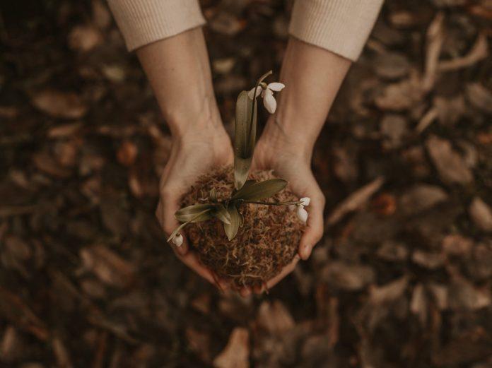 ruky so zemou a prvosienkou