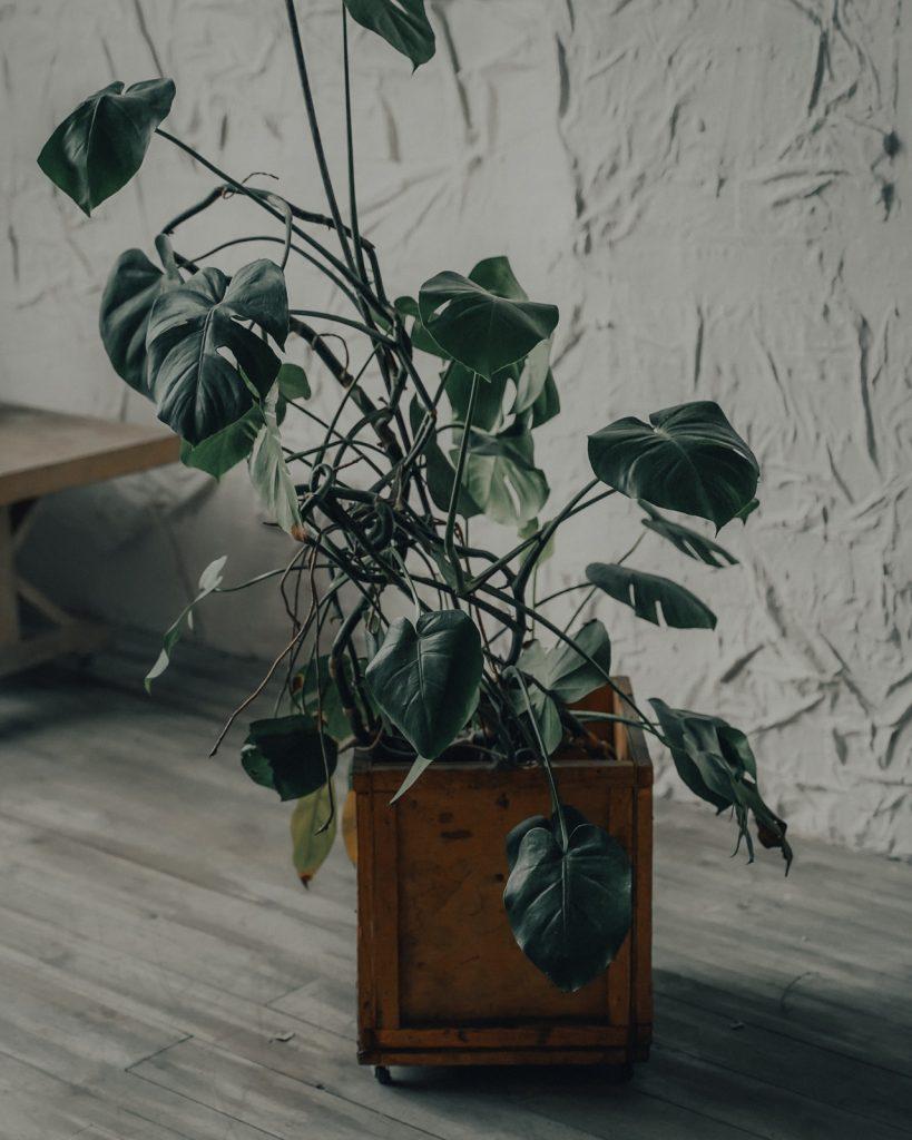 menšia rastlina monstera v interiéri