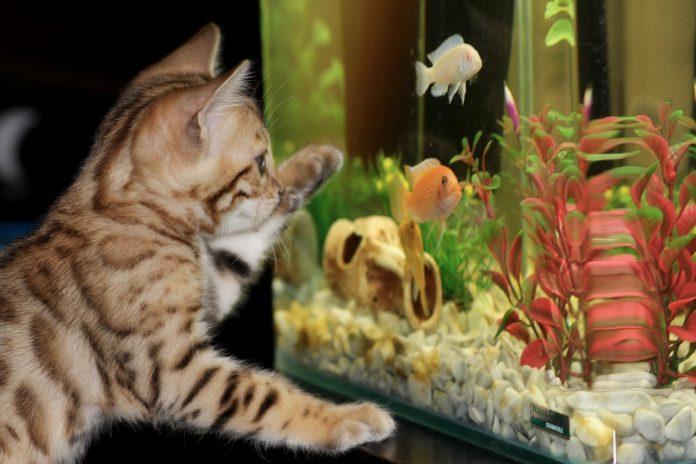 malé domáce zvieratko pred akváriom s rybičkami