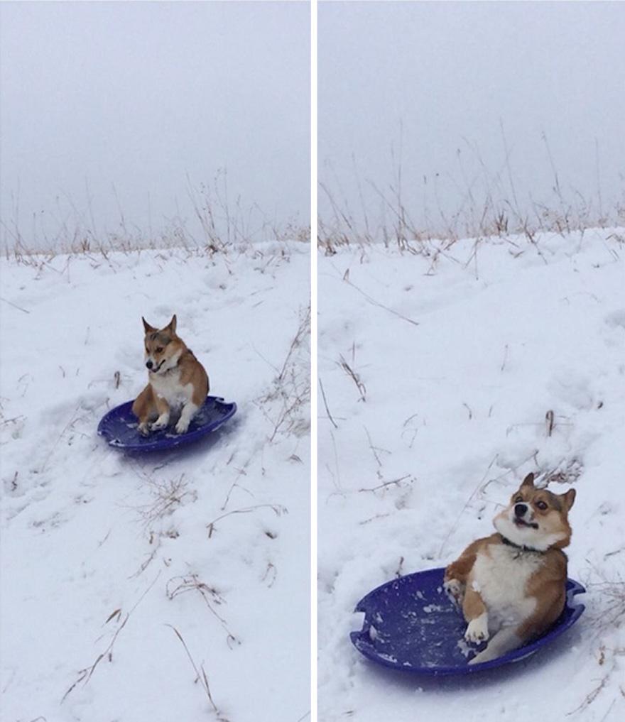 pes sánkujúci sa na snehu