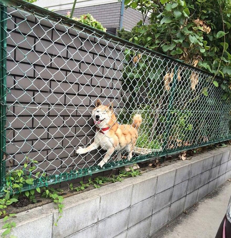psík zaseknutý za plotom