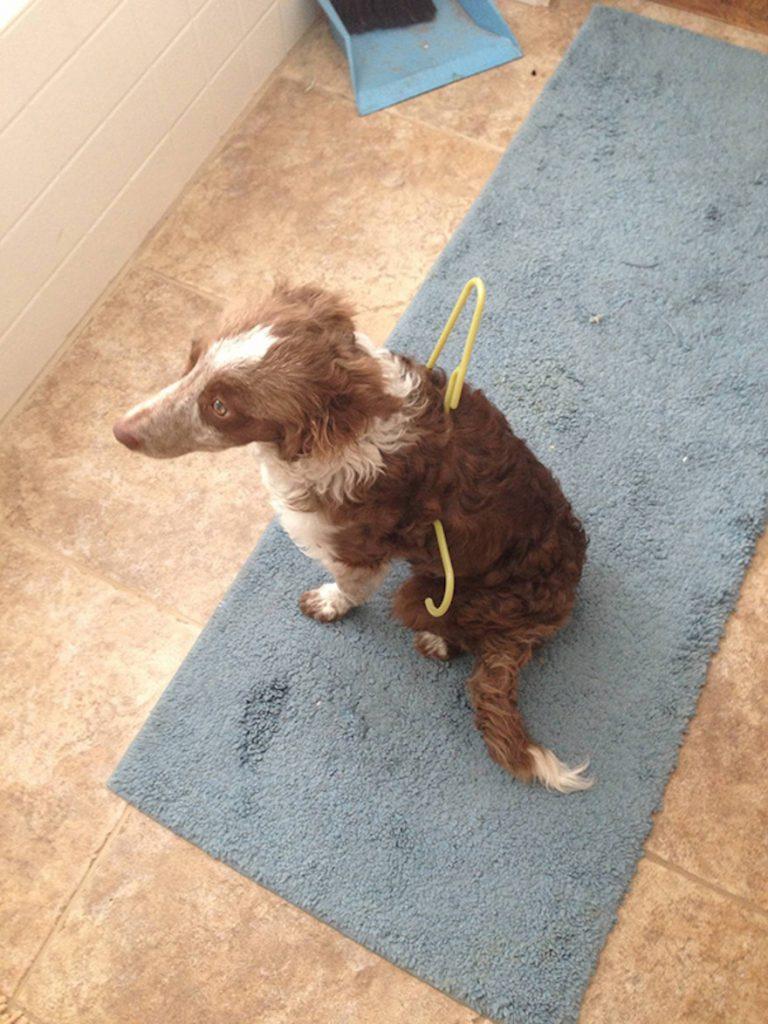 zábavná fotografia psíka zaseknutého vo vešiaku