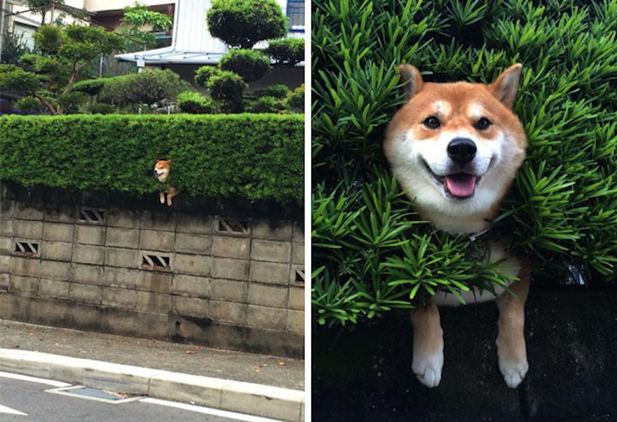 psík zaseknutý v živom plote
