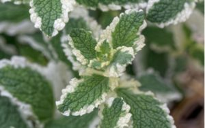 zdravá a silná rastlina: MÄTA ANANÁSOVÁ