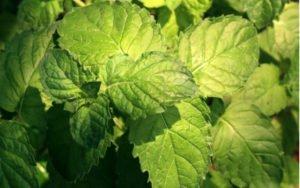 zdravá a silná rastlina MÄTA CITRÓNOVÁ