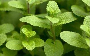zdravá a silná rastlina mäta MÄTA KLASNATÁ