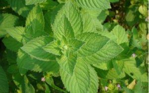 zdravá a silná rastlina mäta