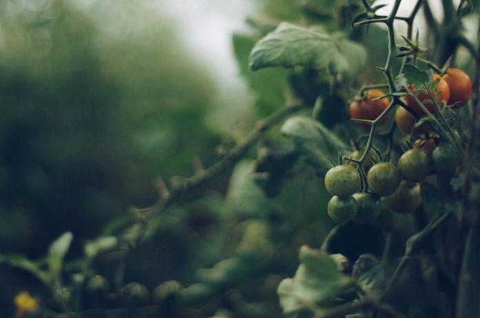 nedozreté cherry paradajky na kríku