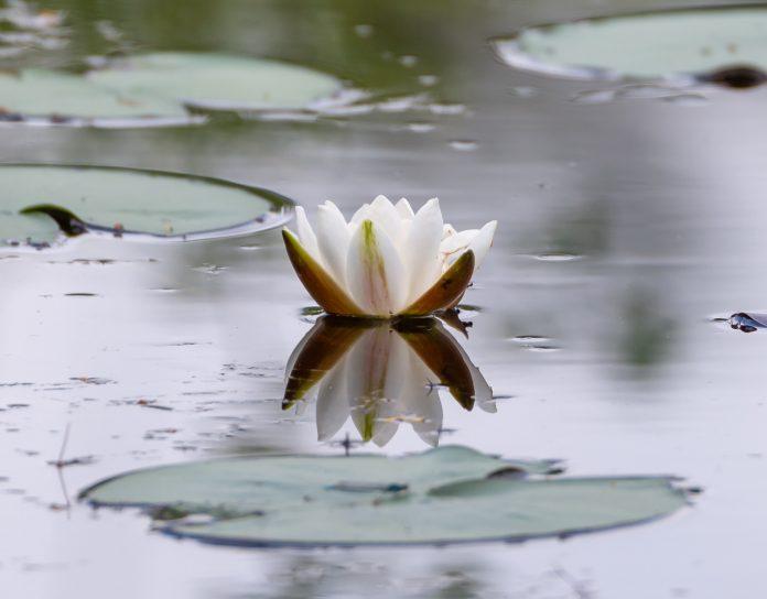 Lekno na vode